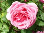 Rosa Multi-pétalos