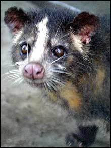 A civet yesterday