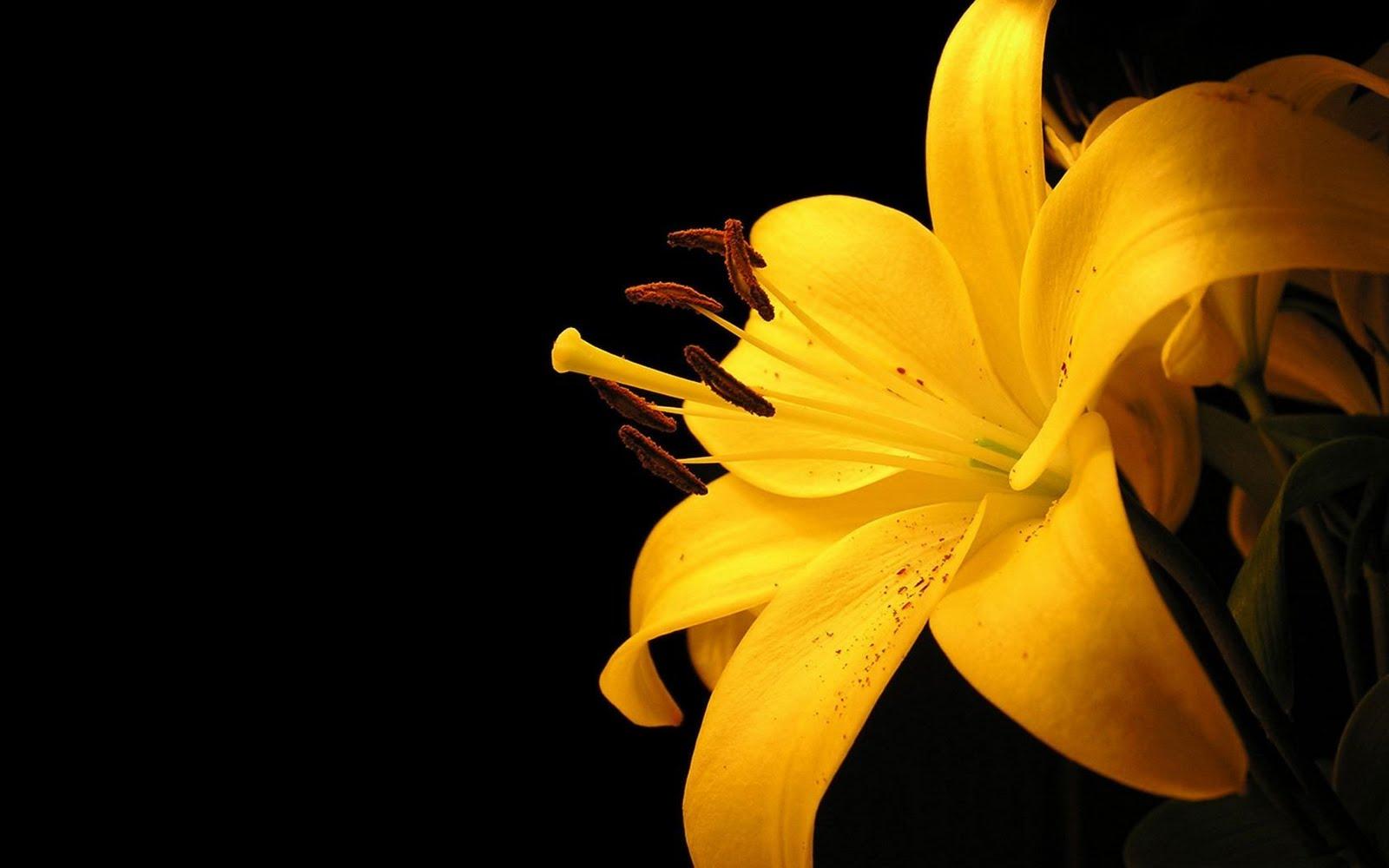 http://2.bp.blogspot.com/_WnJsheyYrRw/TCya_VdKyfI/AAAAAAAAABQ/9lK8-kCq34I/s1600/yellow+lily+flowers+wallpaper+1293.jpg