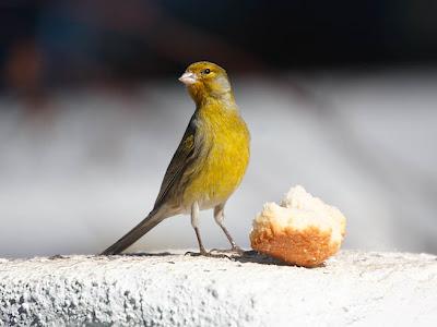 alimentacion canarios