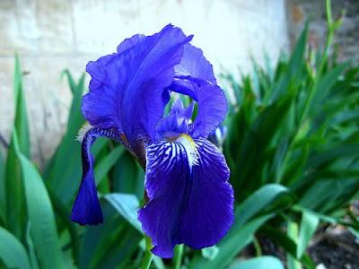 Iris barbados