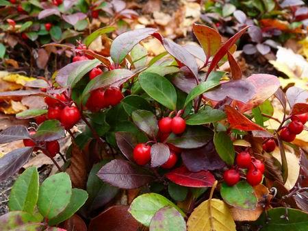 Le jardin sauvage et utile le th des bois une merveille cultiver - Jonquille sauvage des bois ...