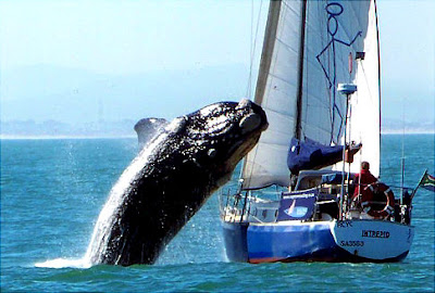Whale Jumping on Boat