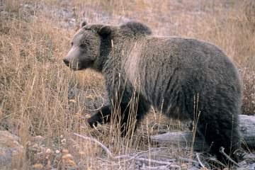 Bear attack Yellowstone
