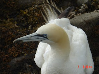 Gannet found in Kirroughtree forest