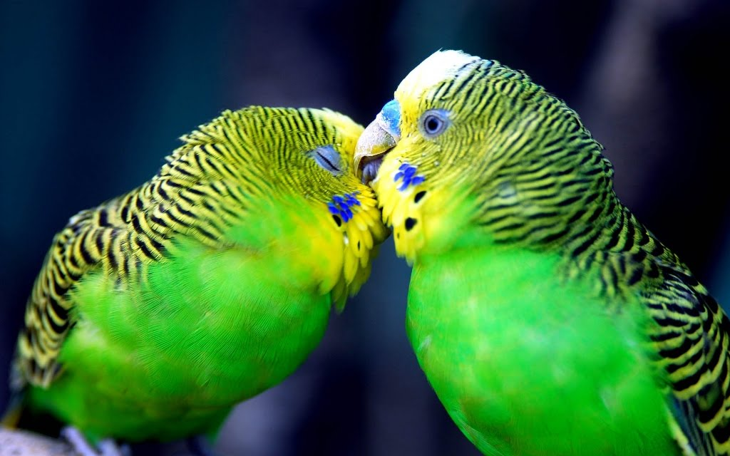 wideref: cute Love Birds Loving Wallpapers colorful ...