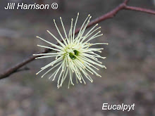 Eucalypt