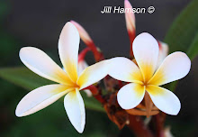 Frangipani