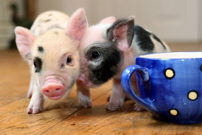 micro_pigs_07.jpg