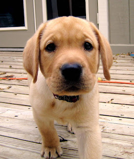 Closeup of a cute puppy: Golden retriever