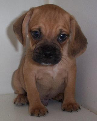 Do Pocket Puggles Shed 28 Images Meet A Puggle Puppy