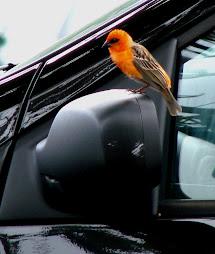 Oiseau de l'île de la réunion