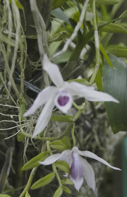 Bunga angrek ambulum dari hutan Kalsel