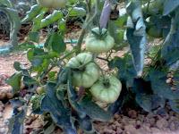ortaggi, pomodori