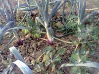 ortaggi, cipolle