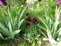 tulipani blu, Parrot Tulip, Blue Parrot, plave lale