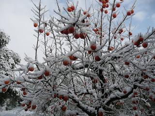 Cachi (Diospyros kaki) albero di origine giapponese molto diffuso in Italia. Zuti kuglasti plodovi listopadnog stabla veoma rasprostranjenog u Italiji.