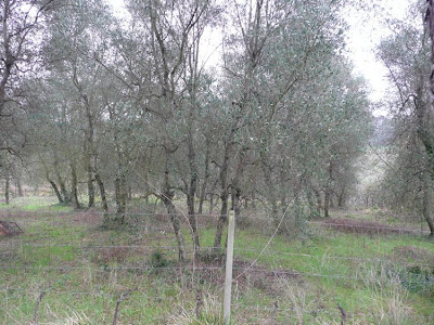 Olive tree pruning