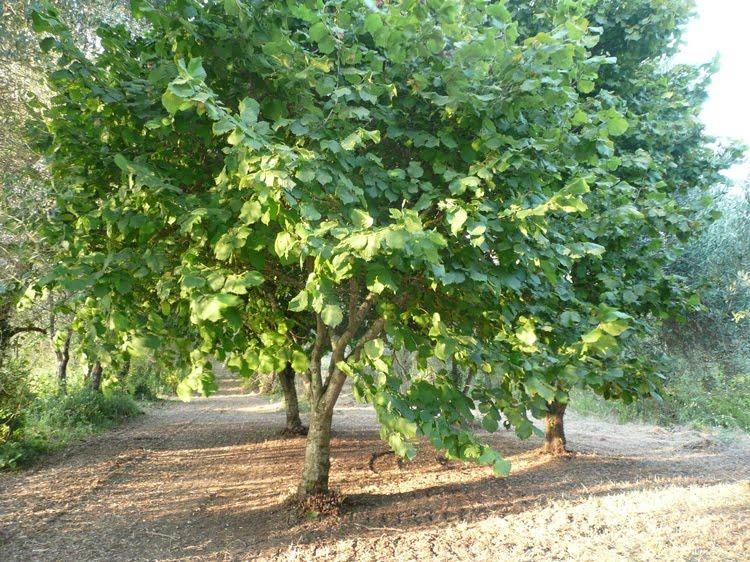 un bellissimo albero di nocciole