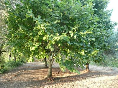 nocciolo albero