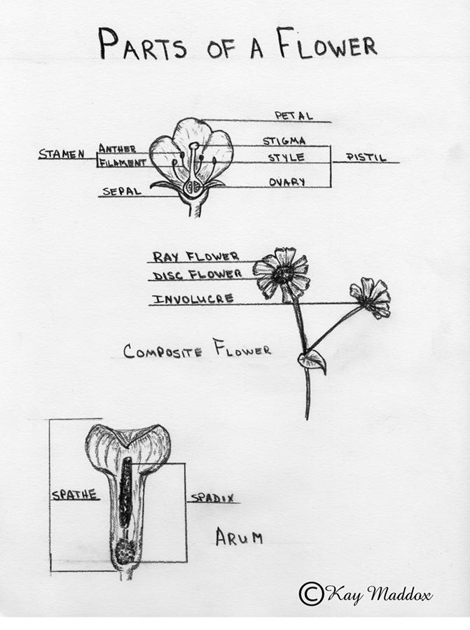 The Dandelion Appreciation Society  Botany    Taxonomy