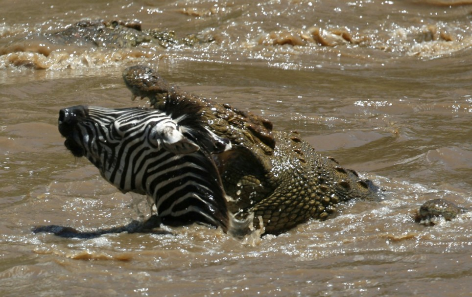 hey crocodile you want a zebra for lunch animals