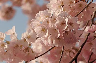 pink yoshino blossom
