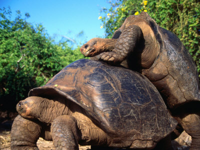tortoise mating doggy style