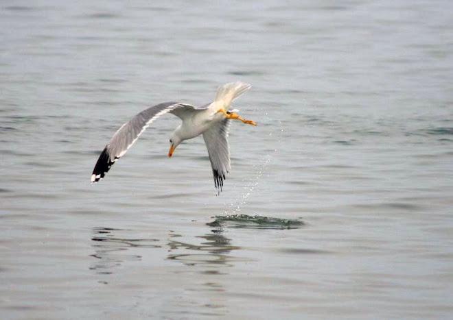Pescarus, la atac