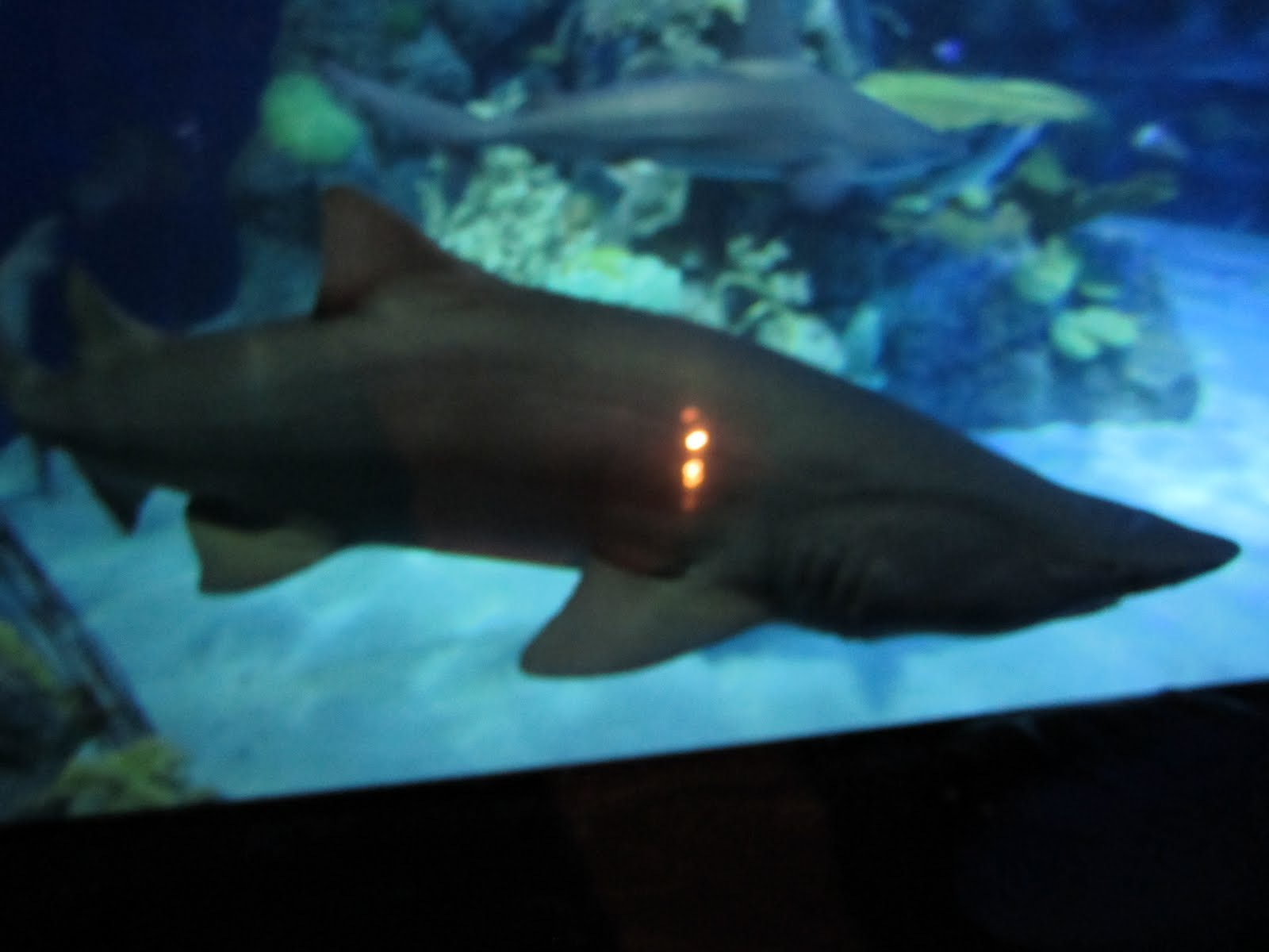 Mes bijoux christmas and the engagement for Fish tank sharks