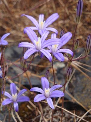 Brodiaea Mountain Lilies