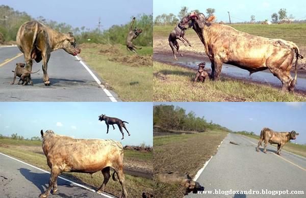[vaca-lutadora.jpg]