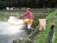 除草効果のある米ぬか散布
