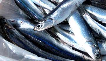 Pescato di alici