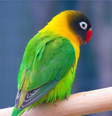 LOVEBIRD - BURUNG CINTA