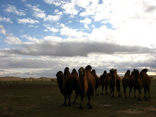 camels in the gobi desert in mongolia