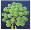 Angelica herb picture