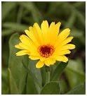 Calendula herb picture