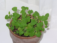 Catnip Herb Photo