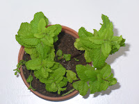 Mint Herb Picture