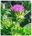 Milk Thistle picture