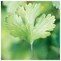 Cylantro herb image