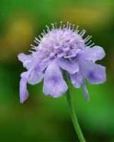 Garden herb picture