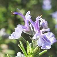 Rosemary herb photo