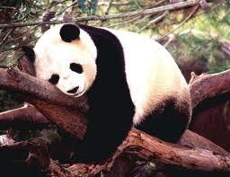 Peminjaman panda besar ke kebun binatang Amerika Serikat dan Jepang