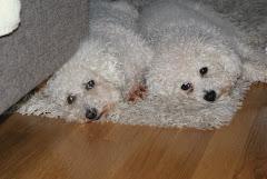 Hundene våre, Zetha og Dino