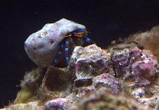 Blue Knee Hermit (Clibanarius tricolor)