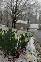 Daffodils in Atlanta Snow