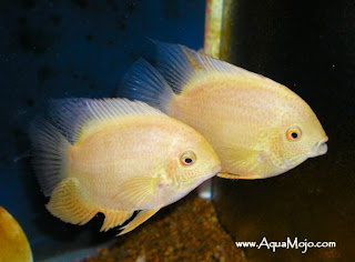Freshwater aquarium fish cichilds gold servrmus for Common freshwater aquarium fish