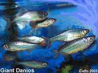 Freshwater aquarium fish october 2008 for Freshwater schooling fish